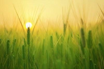 barley-field-1684052_640.jpg